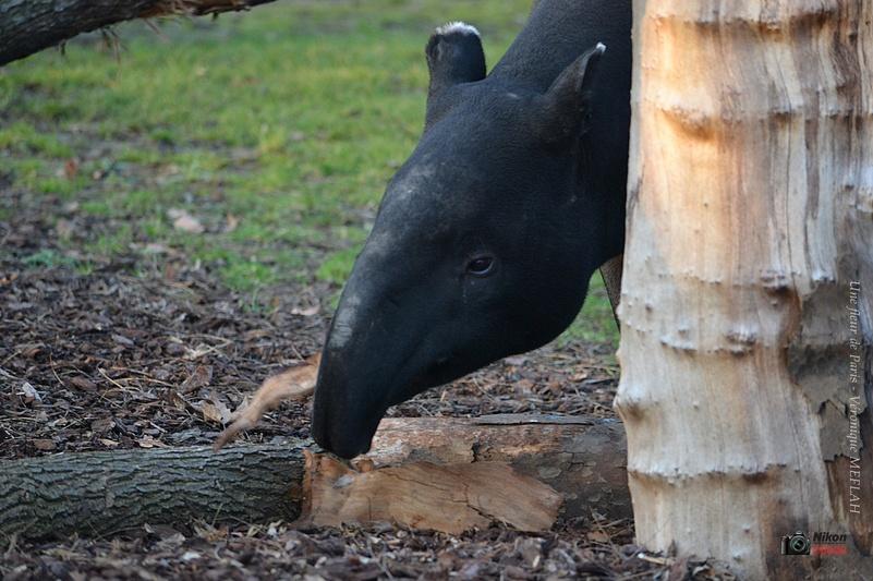 Ménagerie du Jardin des Plantes : Tengah le timide