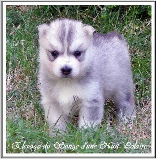 Chiot Husky Femelle 1 (27j)