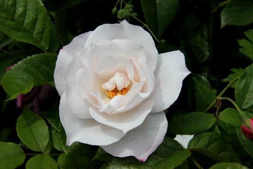 Les rosiers abandonnés ou perdus (2/2)