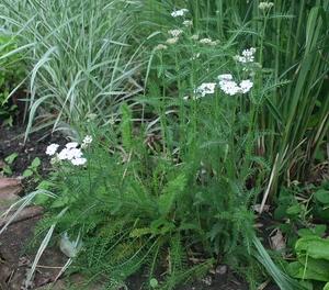 achillea millefolium paprika