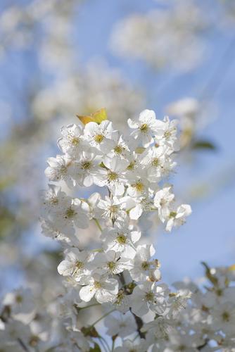 Les fleurs de cerisier ...