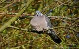 Pigeon ramier - p255
