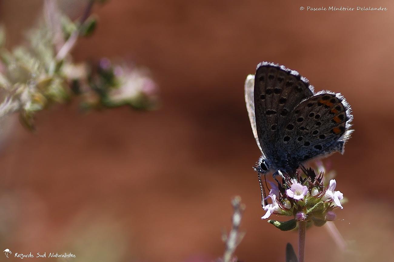 Azuré de la sarriette ou Azuré du thym - Lycaenidae