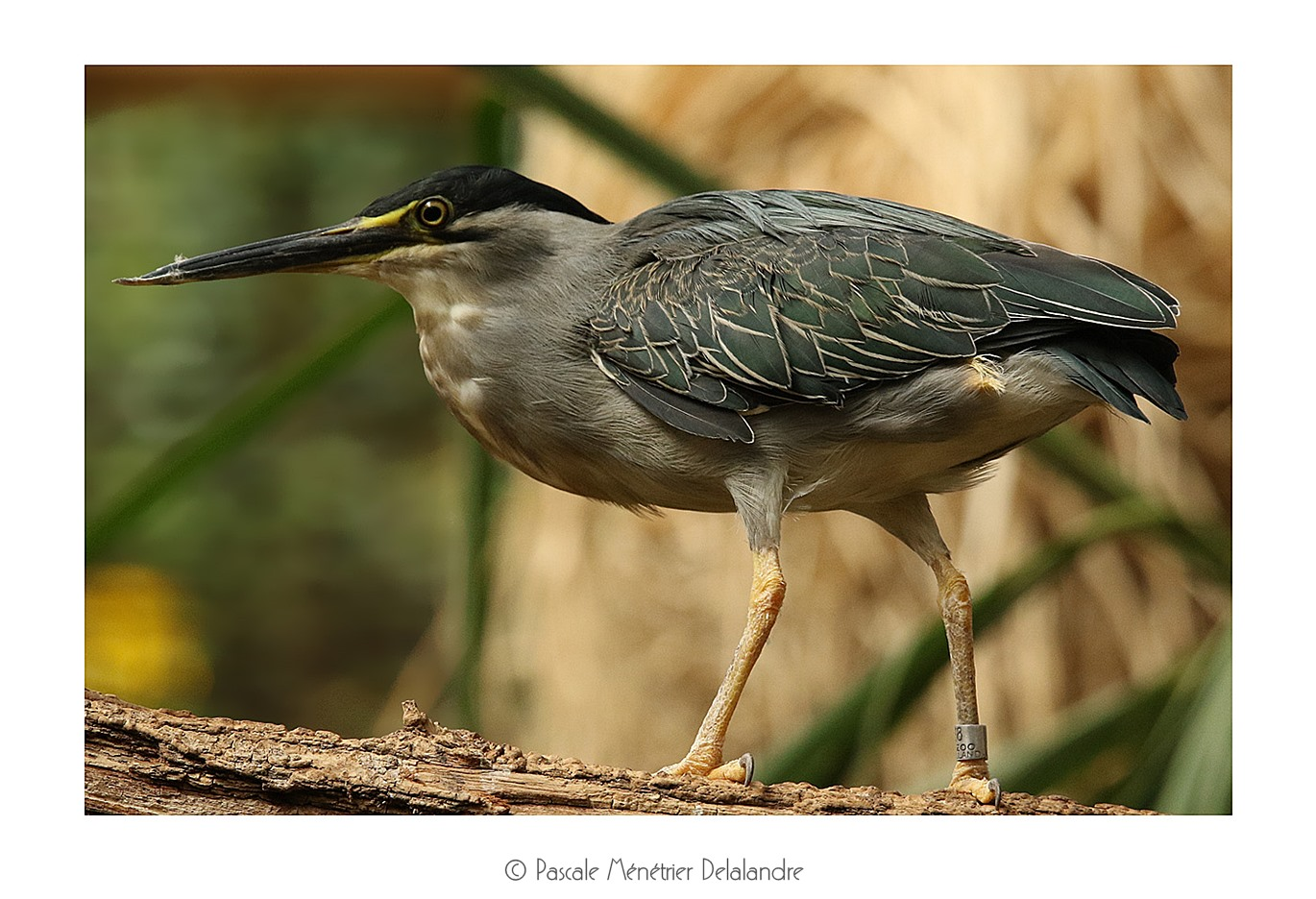 Héron strié - Butorides striata - Striated Heron