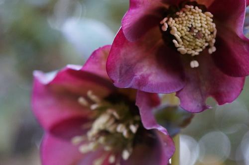 En attendant le printemps : les Hellébores suite