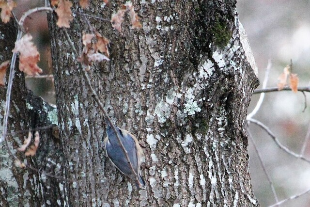 sittelle torchepot (sitta caesia) d'Europe de l'Ouest