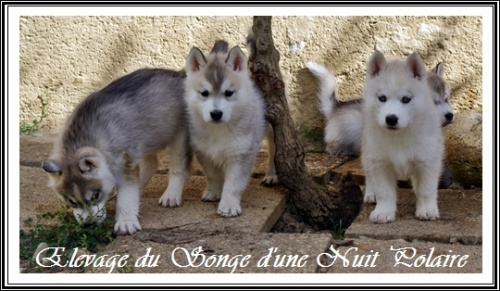 Chiots Huskys Groupe (46j)