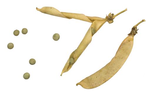 Vertus médicinales des légumes et des plantes : POIS