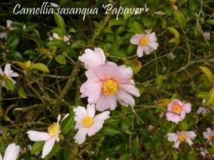 Camellia La Roche Jagu oct2010 009