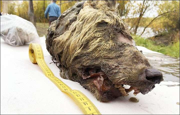 Exceptionnel : une tête de loup préhistorique de 40.000 ans retrouvée en Sibérie