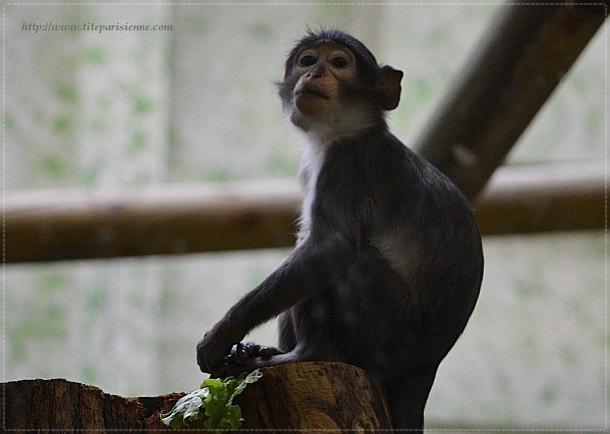 Ménagerie du Jardin des Plantes : Loango's family