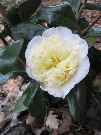 camellia x Williamsii 'Brushfield's Yellow'
