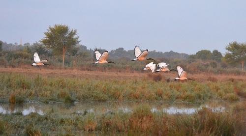 ... vol d'ibis un petit matin...