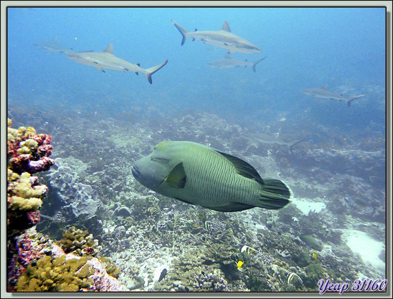 Plongée bouteille Passe Tumakohua : Poisson Napoléon et requins gris - Fakarava - Polynésie