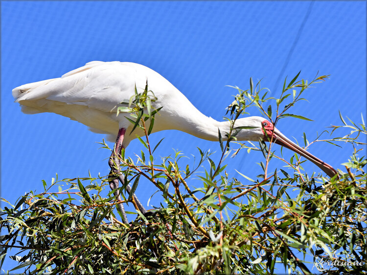 Photo de Spatule blanche - Zoo d'Arcachon