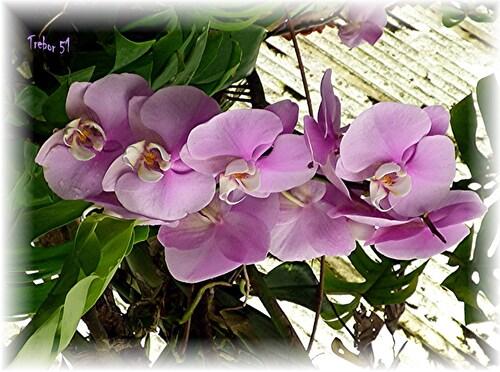 Aimez vous les Orchidées.....