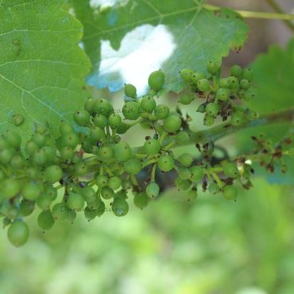Vigne - Grappe de raisins - Fin Juin