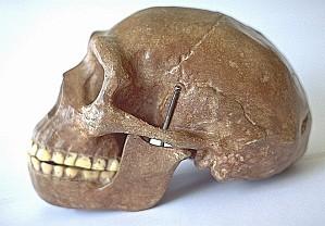 Homo erectus[1]
