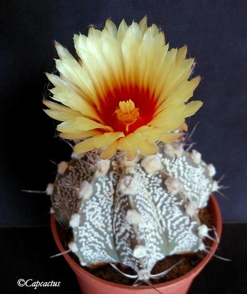 Astrophytums hybrides et parodias