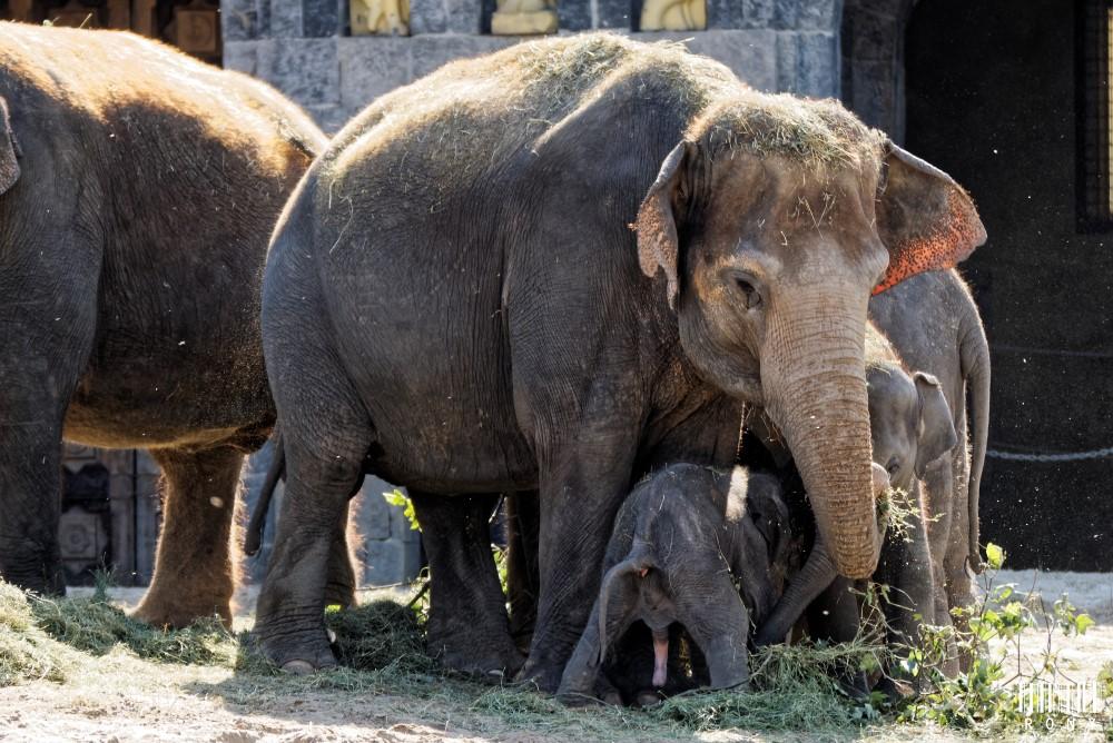 Bébé éléphanto de 2 jours