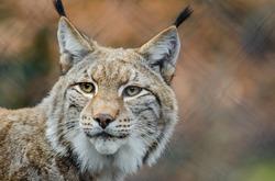 Lynx, Guide ToteM