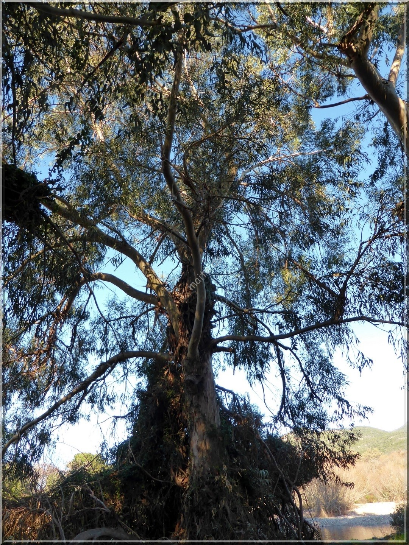 Eucalyptus globulus - Galéria - 26-01-2015