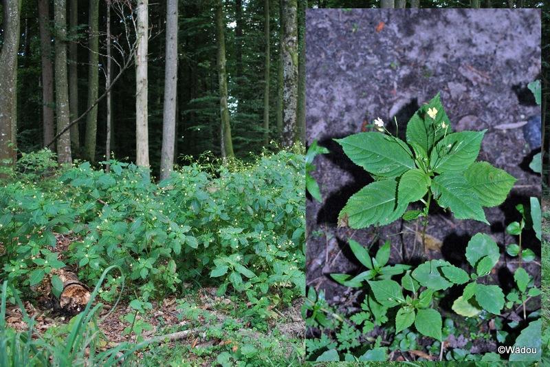La Balsamine à petites fleurs, Impatiente à petites fleurs (Impatiens parviflora) Balsaminaceae
