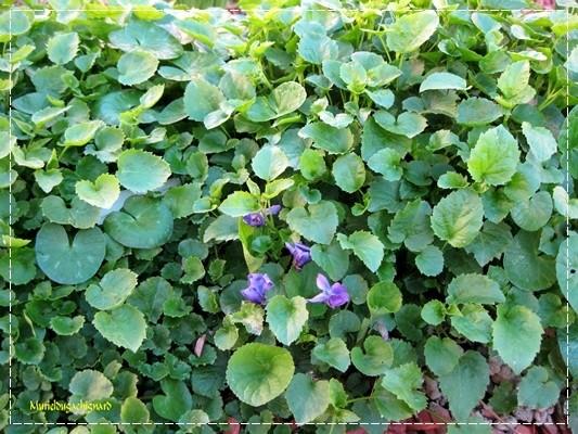 Fleurs-printemps-2011 0818