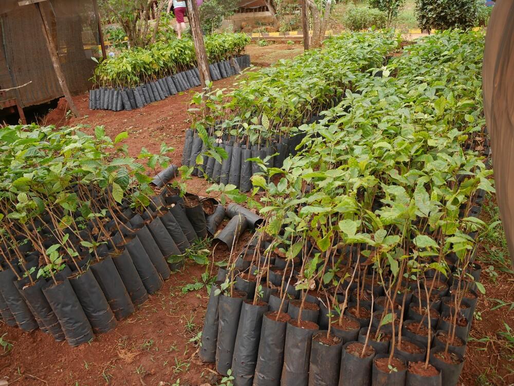 Les plantations du Mondulkiri - Cambodge