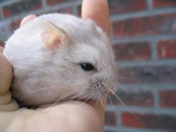 hybride hamster