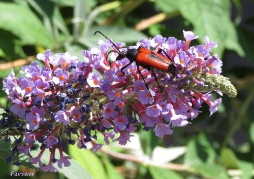 Papillon et insecte dans les buddleia