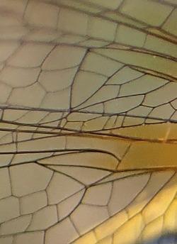 Sympetrum sanguineum - cellules discoïdales