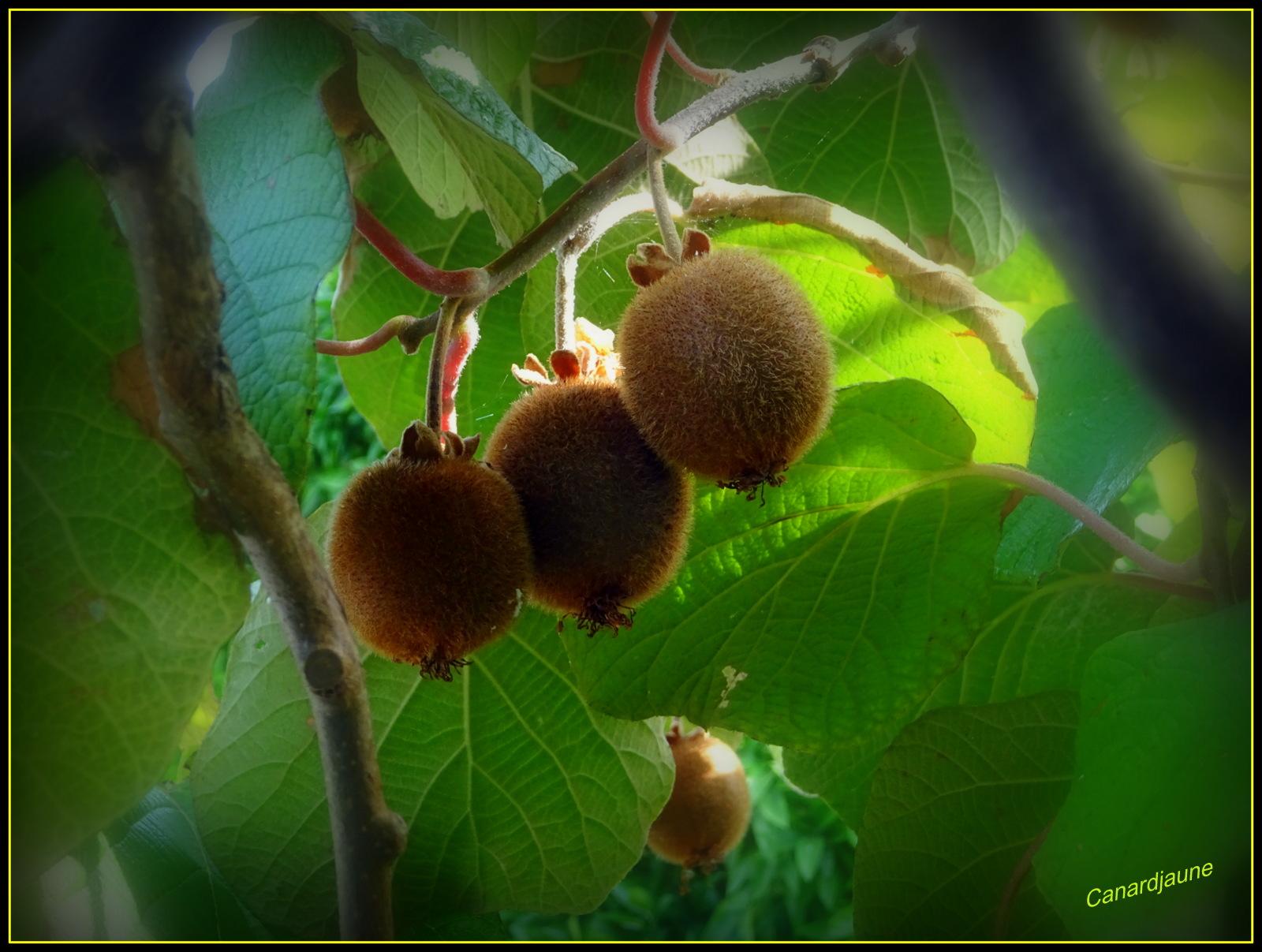 actinidia deliciosa, l'arbre à kiwi, groseille de chine,la souris