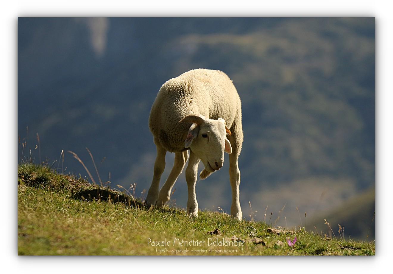 Brebis en zones pastorales en Hautes-Pyrénées
