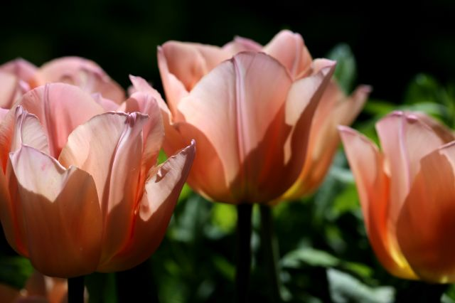 Tulipes 2017 : Apricot Beauty