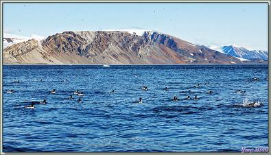Guillemot de Brünnich, Thick-billed Murre (Uria lomvia) - Coburg Island - Baffin Bay - Nunavut - Canada