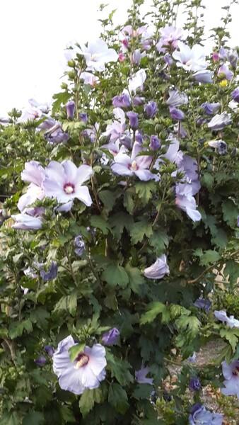 Acrostiche en fleurs: H