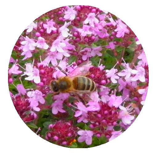 Tube abeille sur serpolet