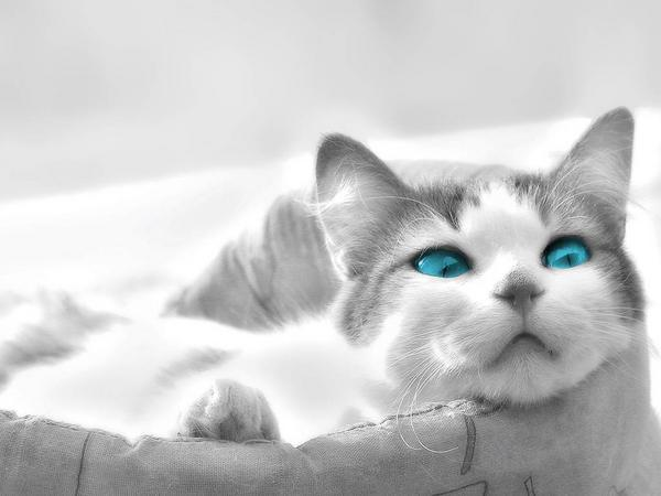 chat-aux-yeux-turquoise.jpg