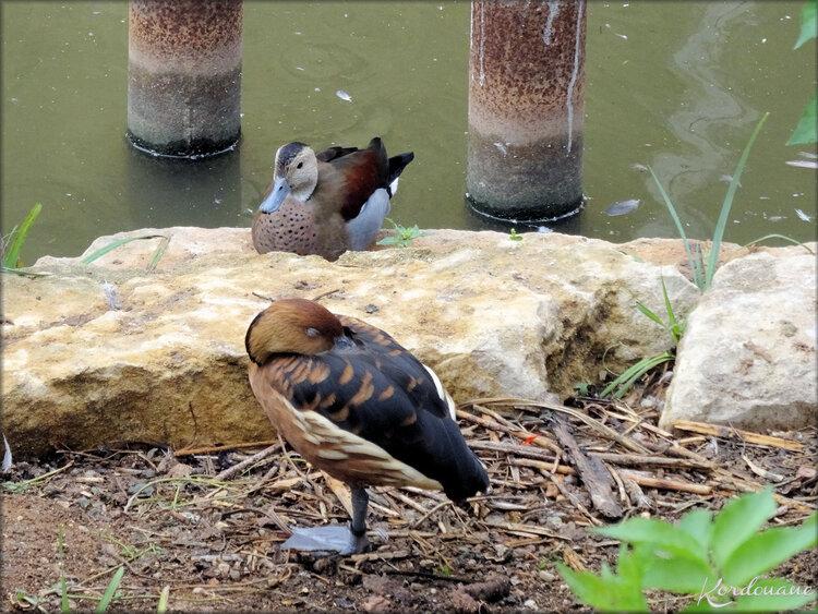 Sarcelle de La Puna (Zoo de Doué la Fontaine)