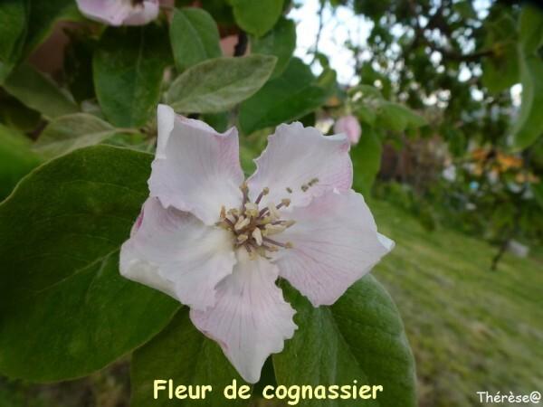 Cognassier (1)