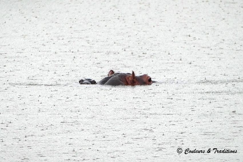 Le coin des hippos