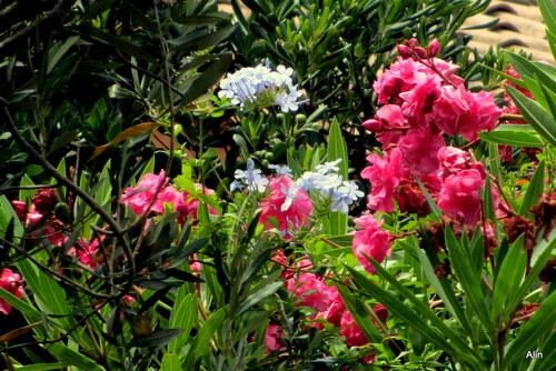 Des fleurs : pétunia, laurier rose ...