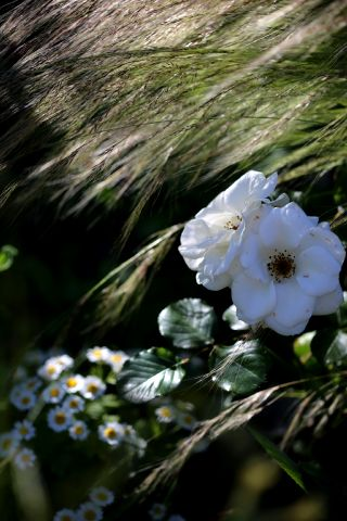 Roseraie - Juin (3/4)