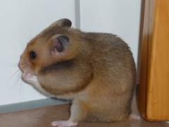 abajoue hamster