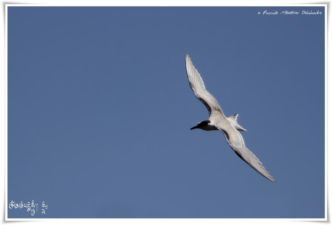 Sterne naine - Sternula albifrons - Little Tern