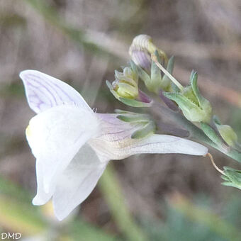 Linaria repens - linaire rampante