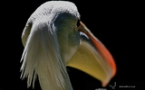 Pélican blanc - p 175