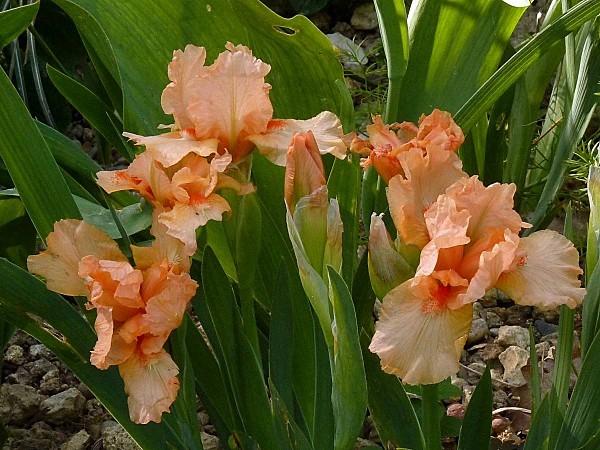 Iris Tickled Peach 2
