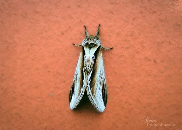 Papillion du diable